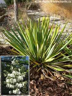 Yucca filamentosa Yucca Filamentosa, European Garden, Perennials, Bright, Plants, Gardens, Outdoor Gardens, Plant, Perennial