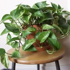 15 Best Houseplants For Beginners New to growing plants and no idea what you should grow indoors? Learn about these 15 Best Houseplants for Beginners. They all are easy to grow! Ivy Plants, Cool Plants, Garden Plants, Herb Garden, Potted Plants, Vegetable Garden, Garden Spaces, Balcony Garden, Garden Web