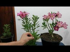 Adubação Líquida de Floração da Rosa do Deserto para ter flores abundantes e por mais tempo - YouTube Catus, Flores, Beautiful Gardens, Flowers, Garden, Green, Plants, Adenium, Gardening Tips