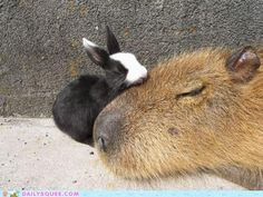 (Bunny + Capybara) x Interspecies Friendship + Nap time = Awesome.  It's Capybara Day on Geyser of Awesome!
