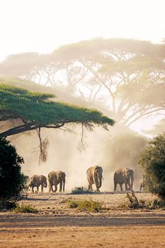 lephants leave cover for the scorched plains of Amboseli National Park in southern Kenya