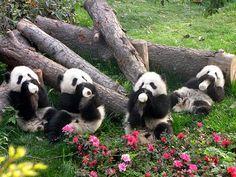 baby panda's <3 <3
