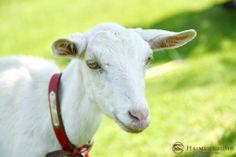 リゾート内では、水牛や野うさぎ、ヤギなどの動物もお客様のお越しをお待ちしております。 水牛池の畔で遊んでいますので、見つけて下さいね!