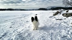 Bærum. Norway. Pappillon Norway, Husky, Dogs, Animals, Animales, Animaux, Pet Dogs, Doggies, Animal