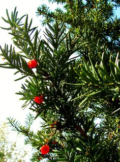 Yew Berries - Brydon Nature Pond, Langley, B.C. - 2008