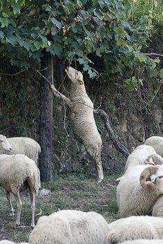 ovelhas da raça bordaleira de entre douro e minho by Alice Bernardo on Flickr