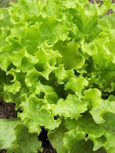 Growing leafy greens in Minnesota home gardens : Vegetables : Yard and Garden : University of Minnesota Extension Growing Lettuce, Growing Veggies, Organic Farming, Organic Gardening, Gardening Tips, Vegetable Gardening, Minnesota Home, Growing Greens, Gardens