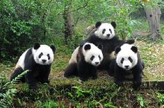 JSPuzzles - Play free Jigsaw puzzles online - Pandas