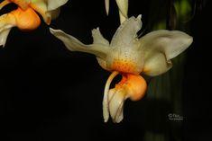 Stanhopea saccata