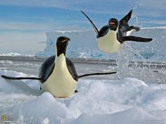 penguins images | The Emperor Penguin | Animals Lover