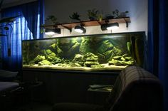 http://akvaario.pehis.com/kuvat/allaskuvat/malawi3.jpg