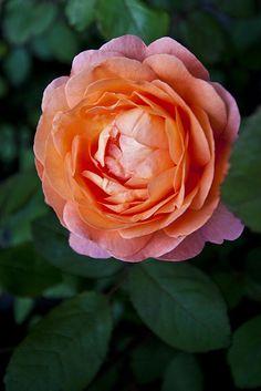 ~Rose 'Lady Emma'