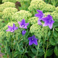 Flott samplanting med blått balloon flower