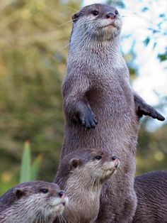 otters Okay okay keep it down now we are trying to stay calm now for more than five minutes. hey Bob, why ya sleeping? Nature Animals, Animals And Pets, Baby Animals, Funny Animals, Cute Animals, Beautiful Creatures, Animals Beautiful, Otter Love, Tier Fotos