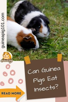 Insects can easily be found in our homes and yard. Despite living nearby, guinea pigs are not tempted by the thought of eating insects. It's also because they are entirely herbivores and depend on fiber-rich grass and hay to meet their dietary requirements. But what happens if they eat one by mistake? Can guinea pigs eat insects? #guineapigcare #guineapigguides #guineapigs #smallpets #guineapigfood Guinea Pig Food, Pet Guinea Pigs, Guinea Pig Care, Guinea Pig Information, Pig Facts, Pigs Eating, Cute Funny Animals, Grass, Insects