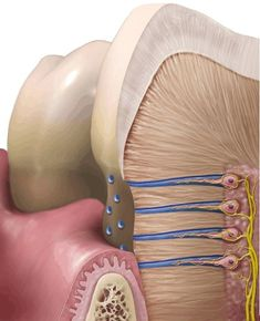 dentinal tubule에 대한 이미지 검색결과