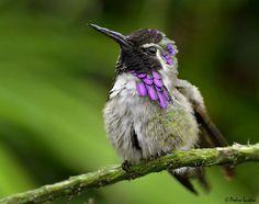 Costa's Hummingbird - pedro lastra