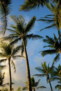 Tropical Palm Trees ~ Maui ~ Photo by Pierre Leclerc