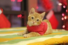 His name is Stockings, born with backward legs but his story does not just end there. Fortunately, good people gave this kitty a chance to run and walkjust like any other cat! Stockings was taken in by Chicago's Tree House Humane …