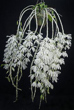 Dendrobium. anosmum var. alba