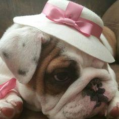 Bulldog ready for the fashion show Bulldog Meme, Bulldog Quotes, Bulldog Breeds, Bulldog Puppies, Teacup Bulldog, Teacup French Bulldogs, English Bulldogs, Cute Bulldogs, Bully Dog