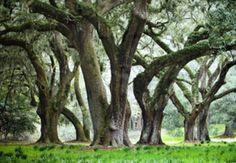 """Oak Trees on Spring Island"""