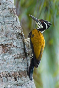 Greater Flameback Woodpecker (Female) by Sai Adikarla