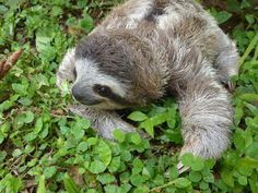 Baby sloth getting to know the ground