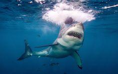 Great White Shark   Oceana