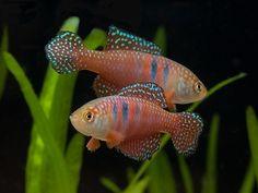Simpsonichthys picturatus