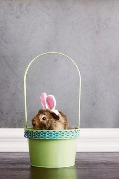 cute Easter Guinea Bunny in a Basket