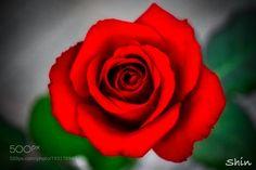 Red Roses by torazaburo #nature #mothernature #travel #traveling #vacation #visiting #trip #holiday #tourism #tourist #photooftheday #amazing #picoftheday