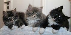 Sweet Norwegian Forest Cat Kittens - Tigerogas