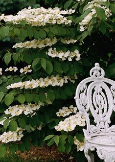 Double-file Viburnum - These are no ordinary flowers. They sit up above the leaves, almost as if they are floating several inches above the branch. So even though doublefile viburnum is a large shrub with coarse-textured leaves, when it's in flower it looks light and airy. The flowers typically last 3 – 4 weeks.  In the fall, small berries appear but they are not overly ornamental. The leaves turn a deep purple in the autumn before falling off for the winter.