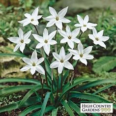 Ipheion Bulbs Alberto Castillo | Ipheion | Spring Starflower Alberto Castillo | Low Water Plants, Eco Friendly Landscapes| Fall-Planted Flower Bulbs from High Country Gardens