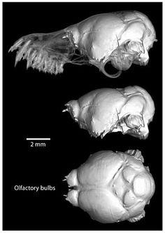 Evolutionary Change in the Brain Size of Bats - FullText - Brain, Behavior and Evolution Vol. Brain Size, Bats, Behavior, Evolution, Lion Sculpture, Change, Statue, Sculpture, Manners
