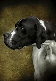 """English Pointer, developed as a gun dog, it is one of several pointing breeds. The Pointer traces back through 300 years of English history. It is used to catch rabbits and birds. It should be athletic and graceful. The immediate impression should be of a compact, hard-driving hunting dog, alert and """"ready to let go."""""""