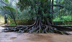 An old tree near Fountain of Love in Quinta das Lagrimas Palace or Estate of Tears. Coimbra. Portugal.