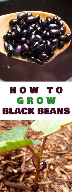HOW TO GROW black bean plants from seeds in your vegetable garden. Looking for a new plant to grow in your garden this year? Try growing black beans! They're easy to grow, produce a goodyield and store great for recipes!