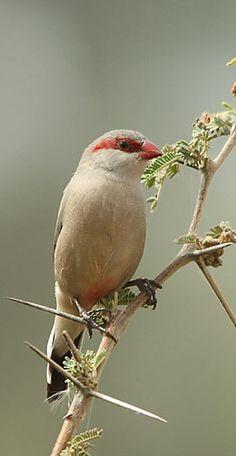 Black-rumped Waxbill (Estrilda troglodytes) is a common species of estrildid finch found in Southern Africa.