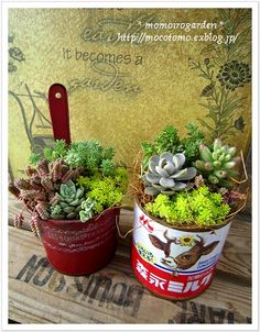 Succulents in interesting cans