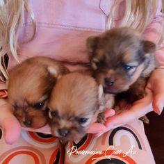 Pomeranian Breeders, Pomeranian Puppy, Pomeranians, Dog Information, Melbourne Australia, Champion, Puppies, Dogs, Animals