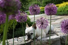 For the love of Allium.