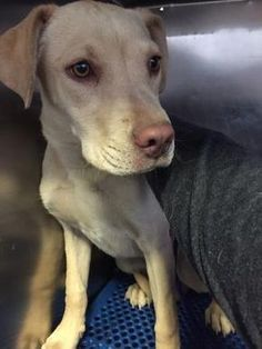 05/20/2017 SUPER URGENT ADOPT DOG ID35189715 golden Labrador, registered as a Terrier? Only 1 year old, Female, City of El Paso, Animal Services TX, Location Sally Port, Intake Date 4/25/2017, at risk of being destroyed 05/27/2017. Please share to save this lovely puppy's young life. Goldens make ideal family pets.