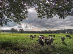 Nederlands landschap - met koeien in de wei.