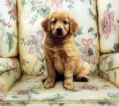 In every puppy owner's heart there is a SOFT SPOT for that little guy being naughty. That's why this little golden retriever pup is getting away with being on the nice floral print chair. This print i