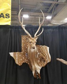 This Texas deer. Deer Hunting Decor, Deer Decor, Deer Horns Decor, Texas Hunting, Taxidermy Decor, Taxidermy Display, Deer Skulls, Deer Antlers, Deer Mounts