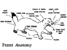 41 best FERRET ANATOMY images on Pinterest | Ferrets, Anatomy and Pets