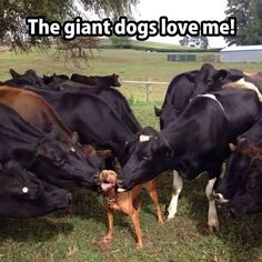 The giant dogs love me!