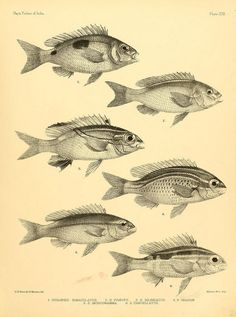 The Fishes of India, Francis Day (1878).